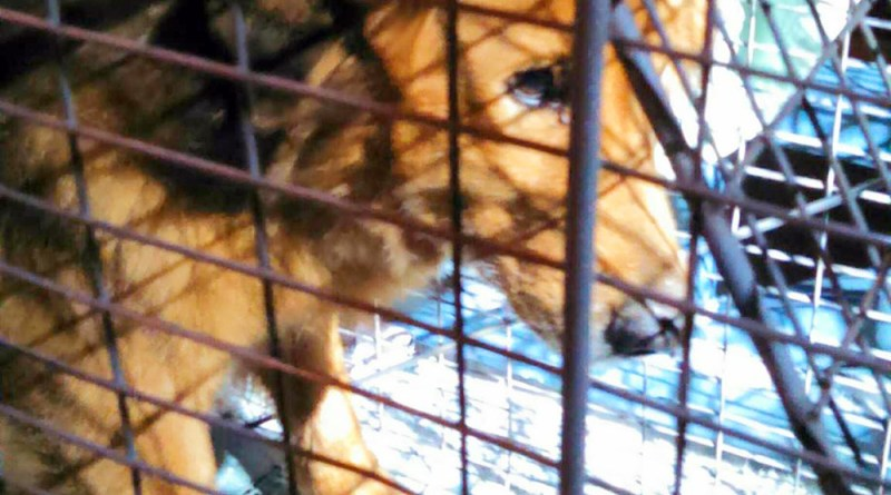 Golden retriever Russell in his cage.