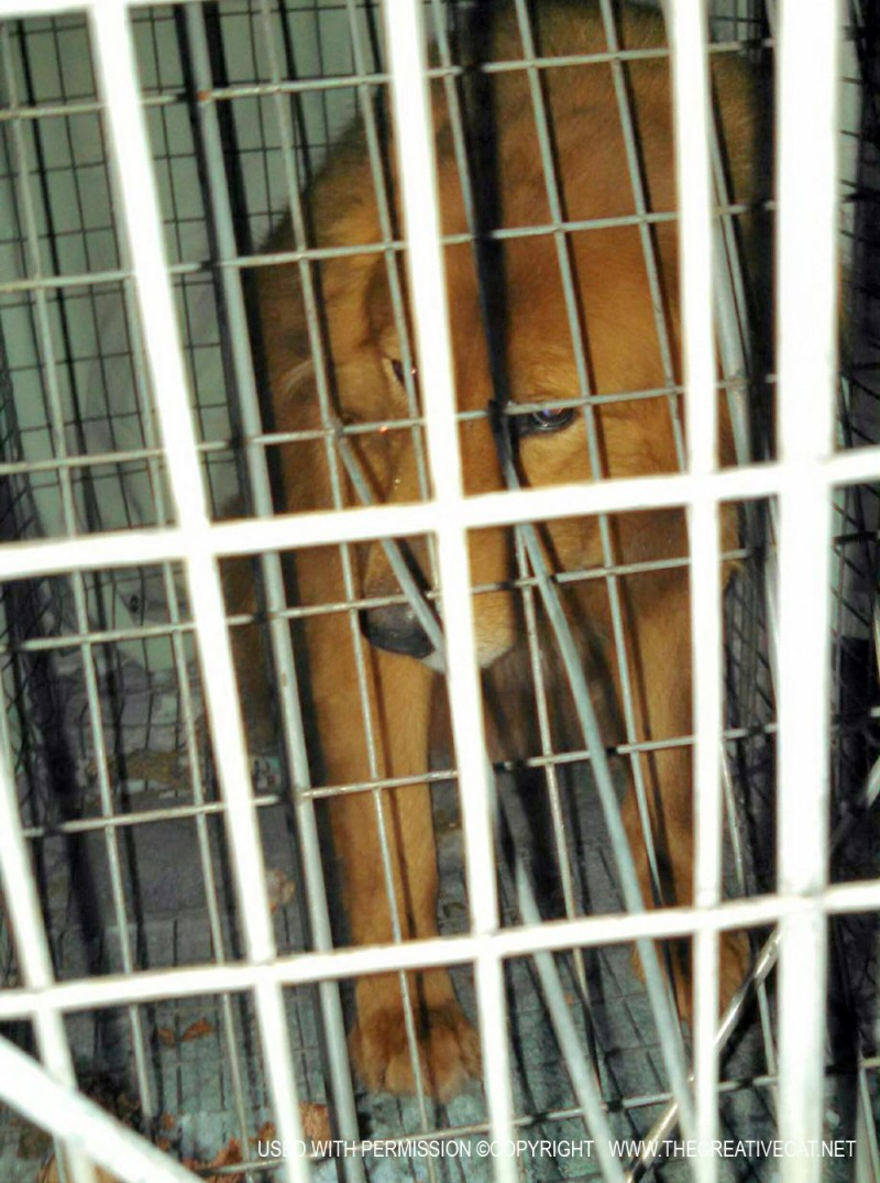 golden retriver in his cage