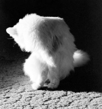 white cat bathing
