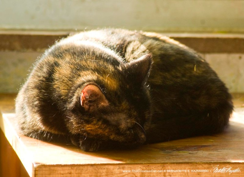 tortoiseshell cat curled in sun