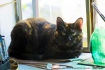 tortoiseshell cat on the windowsill