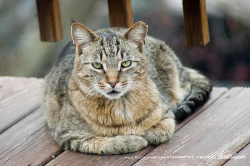 feral eartipped cat