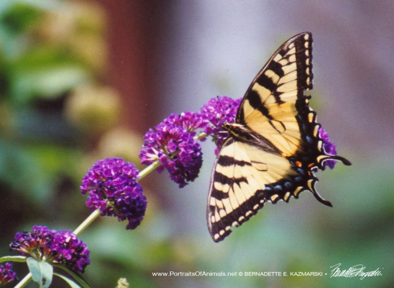 Tiger Swallowtail on butterfly bush.