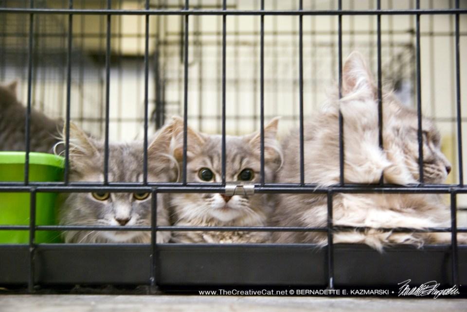 Gray kittens.