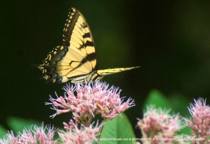 Tiger swallowtail on joe-pye weed.