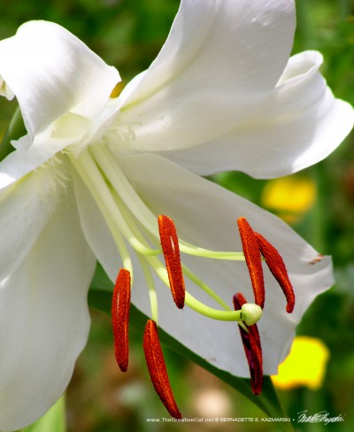 A typical Easter lily flower with its prominent stamens, also from a neighbor's garden.
