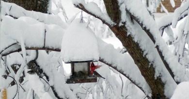 backyard birds on snowy day