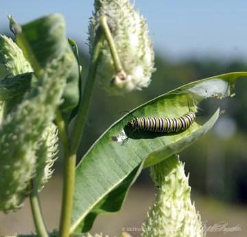 A monarch caterpillar on a milkweed leaf.