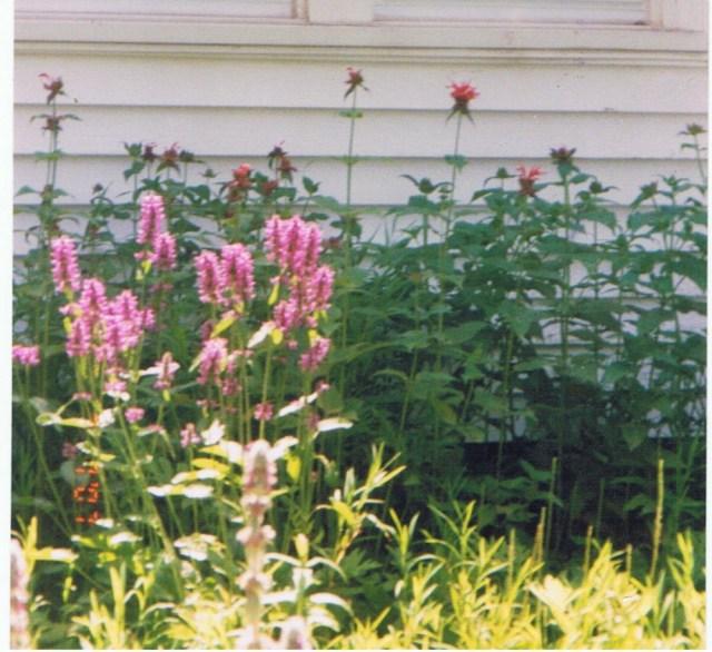 Liatris from the garden.