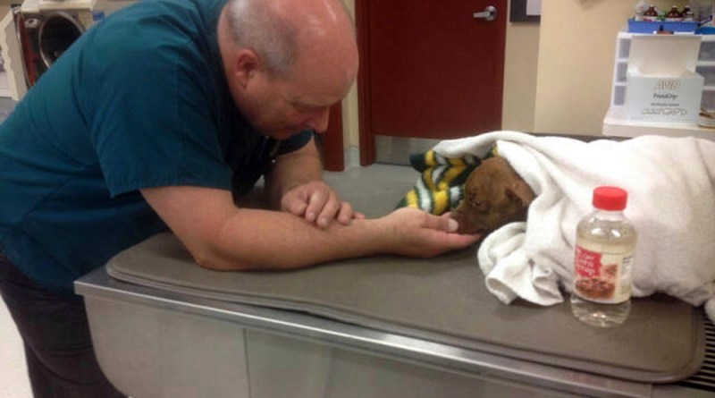 Pit bull receiving treatment.