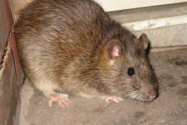 Rat on rampage-(Photo-ABC)
