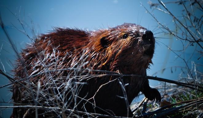 Beavers In Texas: Update