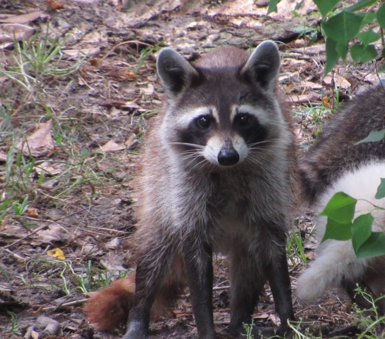 Texas Raccoon News November 4, 2019