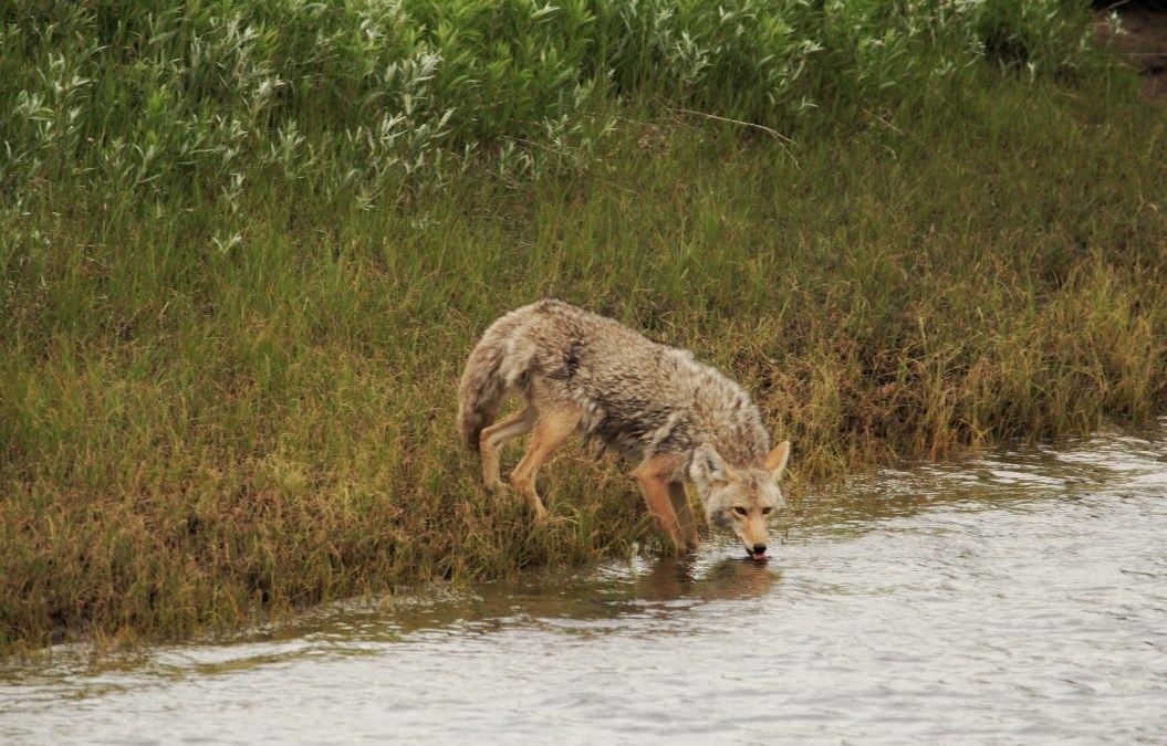 Coyote Sightings in Parts of Texas