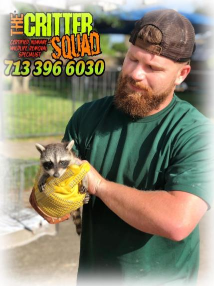 picture of baby raccoon removal in Brazoria Texas
