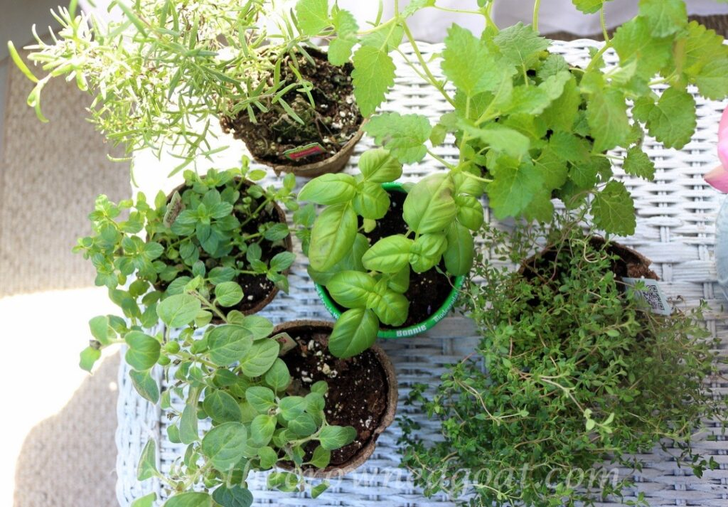 032916-1-1024x713 5 Tips for Growing an Indoor Herb Garden DIY Spring