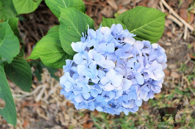 Summer-Hydrangeas-in-Florida-The-Crowned-Goat From the Front Porch From the Front Porch