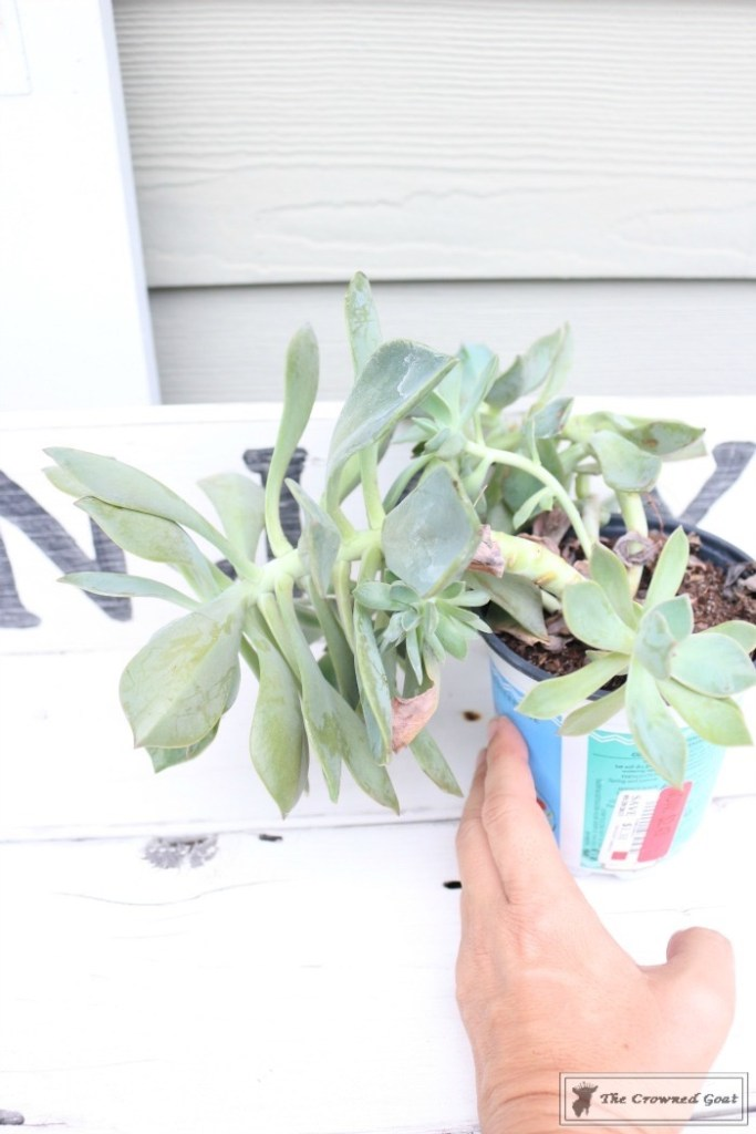 How to Create a Watering Can Succulent Centerpiece-2