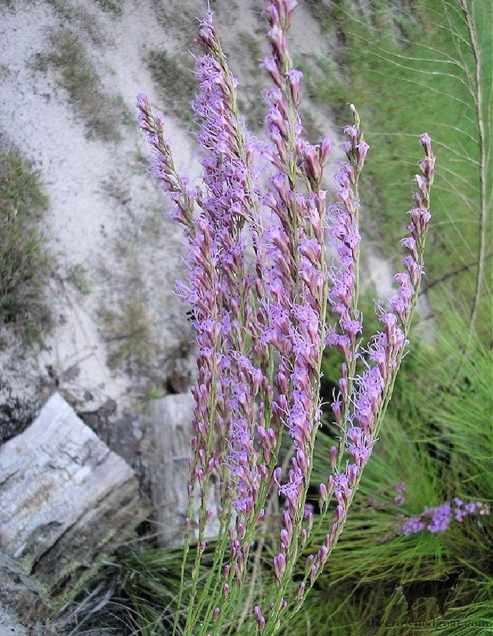 Fall Wildflowers in Florida-The Crowned Goat
