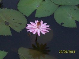 flor-acuatica-en-las-terrazas-foto-lidice-580x435