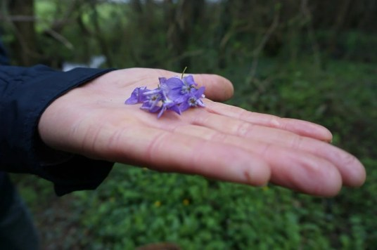 foraging for edible flowers