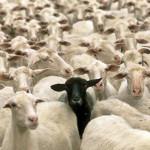 CultureFit.sheep