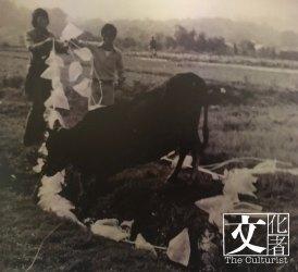 1971年,蛙王和中學生在元朗郊野,與活牛進行「膠袋大行動」。