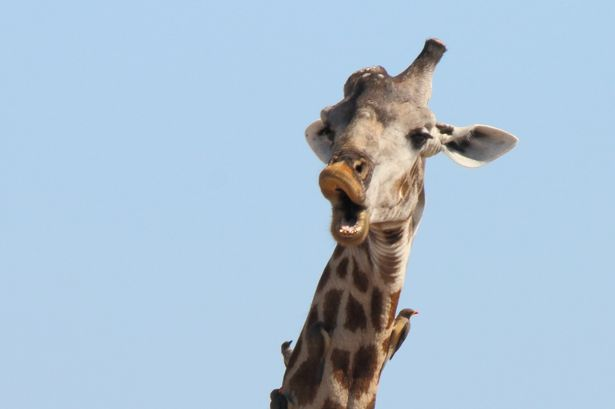 Giraffe-with-unusual-physical-features