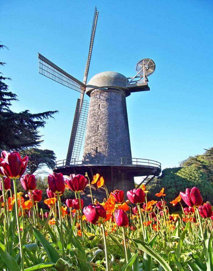 Travel Agent Holland tulips and windmill