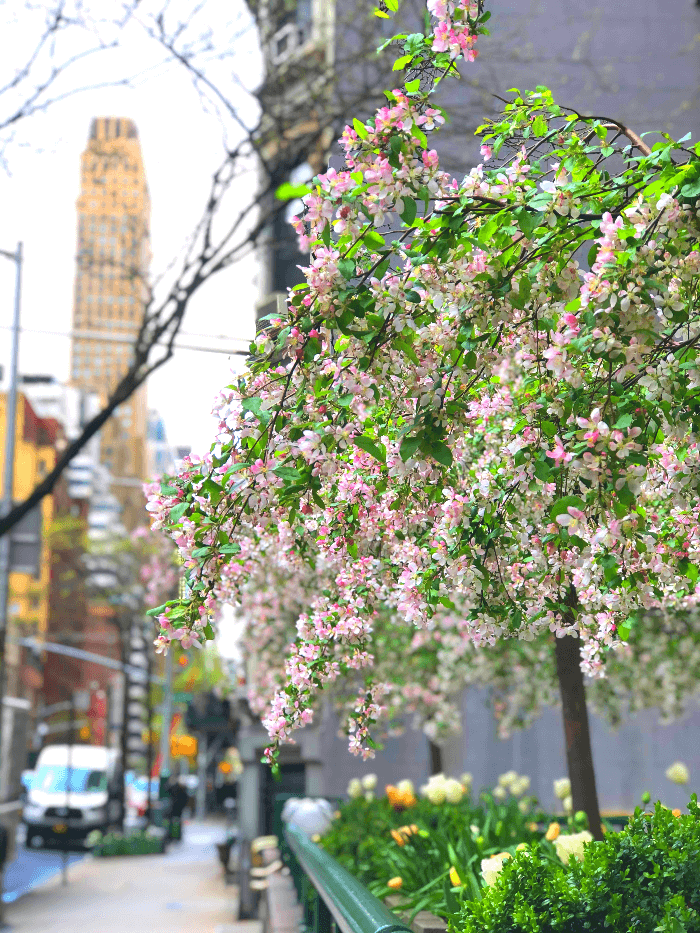 a flowering tree in manhattan