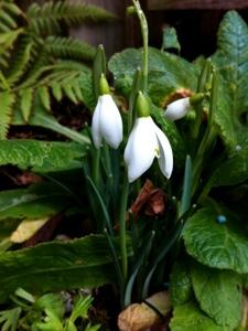 snowdrops- a-curious-gardener