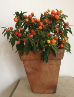 Jerusalem_Christmas_winter_Cherry_care_grow_a-curious-gardener-6