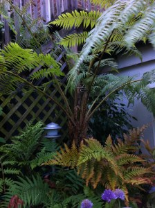 Lacy-Tree-Fern-Cyathea-Cooperi-crozier_a_curious_gardener_1