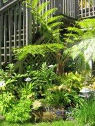 Lacy-Tree-Fern-Cyathea-Cooperi-crozier_a_curious_gardener_4