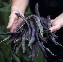 french-beans-curious-gardener