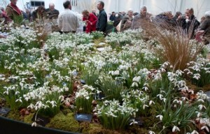 snowdrops-on-avon-bulbs-stand3-a-curious-gardener