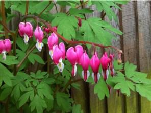 dicentra-bleeding-heart-a-curious-gardener-how-to-grow-image-4