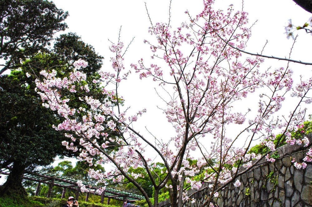 Cherry Blossoms at Yangmingshan National Park (4/6)