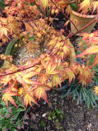 Potted Acer