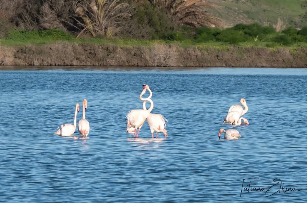 Flamingos in Cyprus -