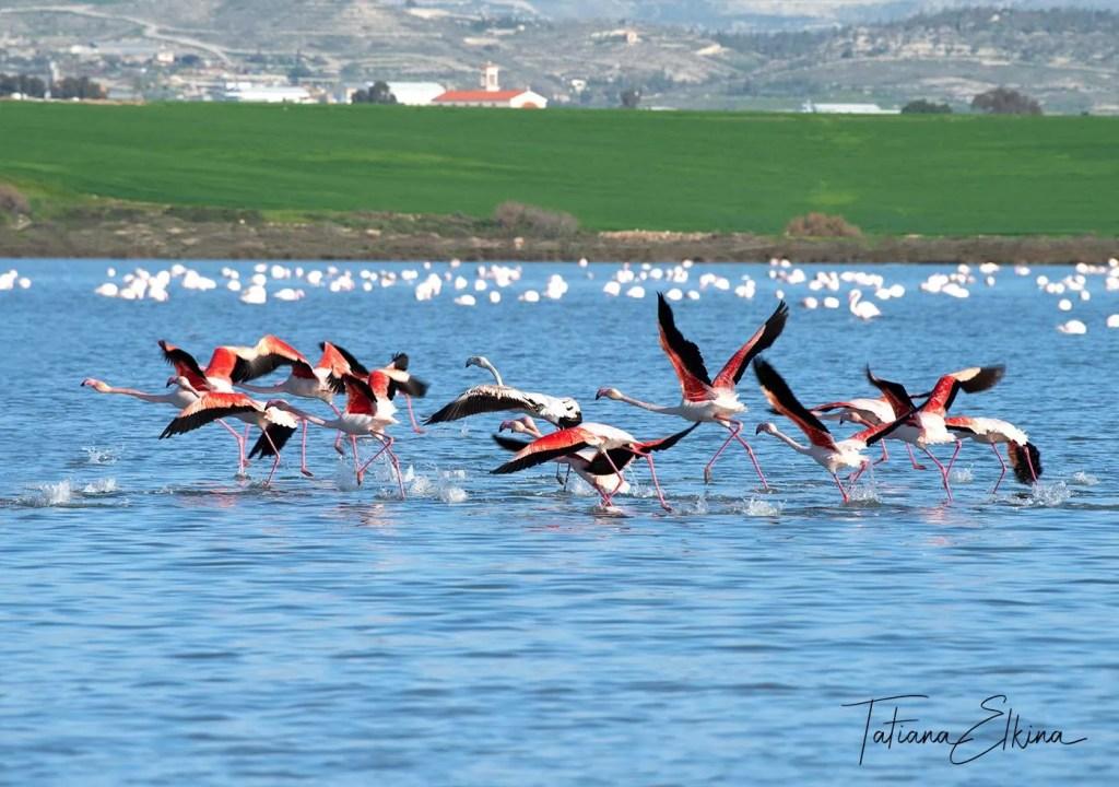 Flamigos flying over salt lake in Larnaca, Cyprus