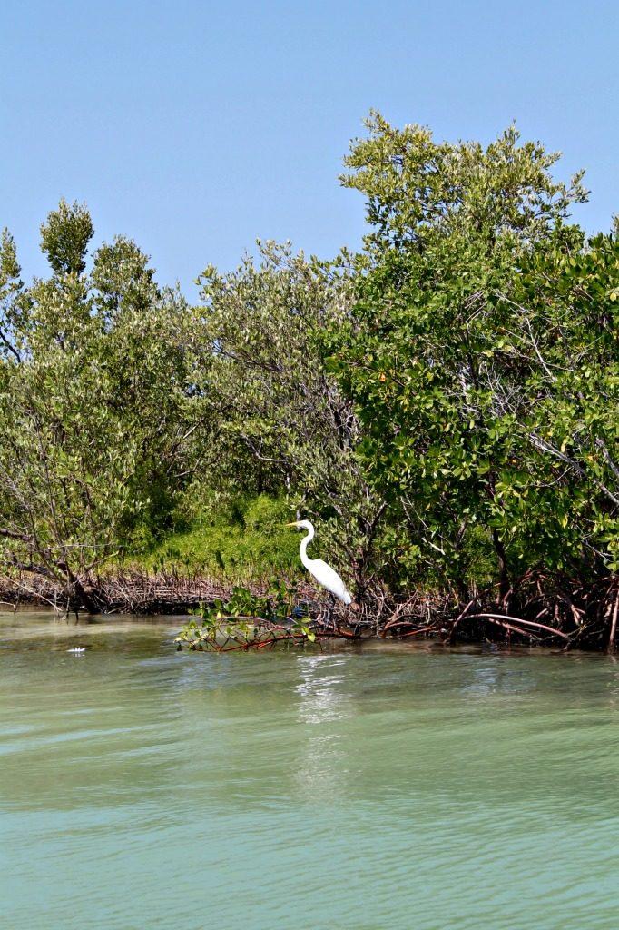 A great egret in Ria Lagartos, Mexico. www.thedailyadventuresofme.com