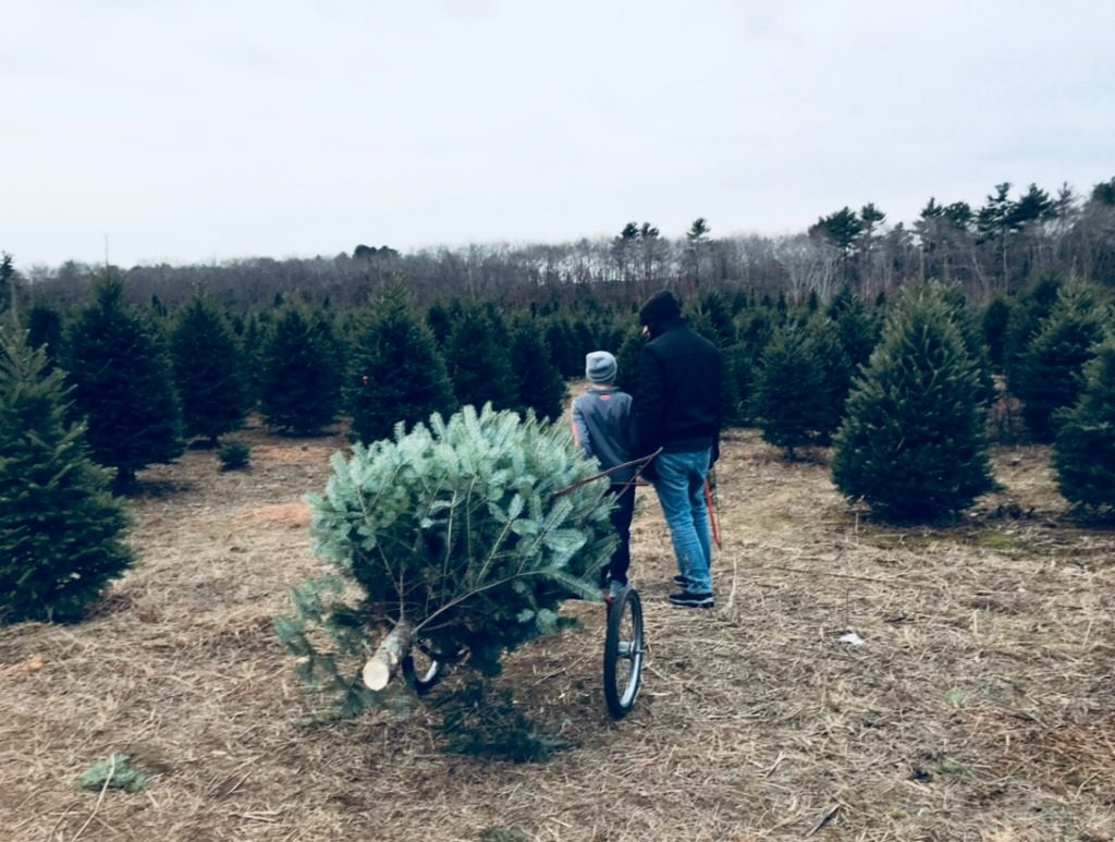 Cutting down Christmas trees in New England.