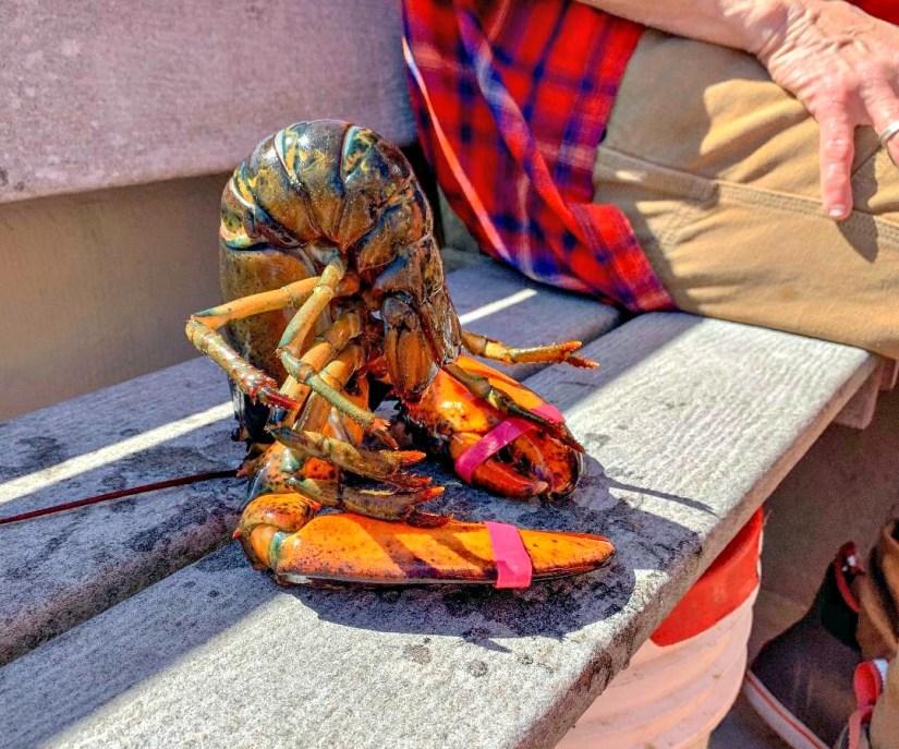 Hypnotized lobster in Maine