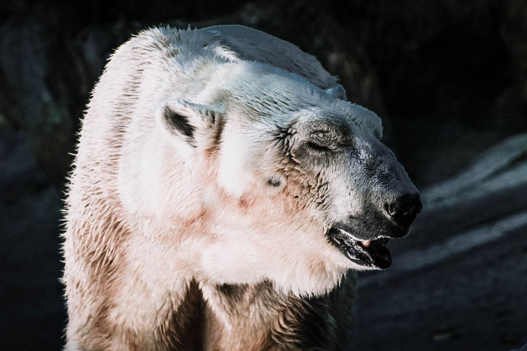 See polar bears in Manitoba, Canada