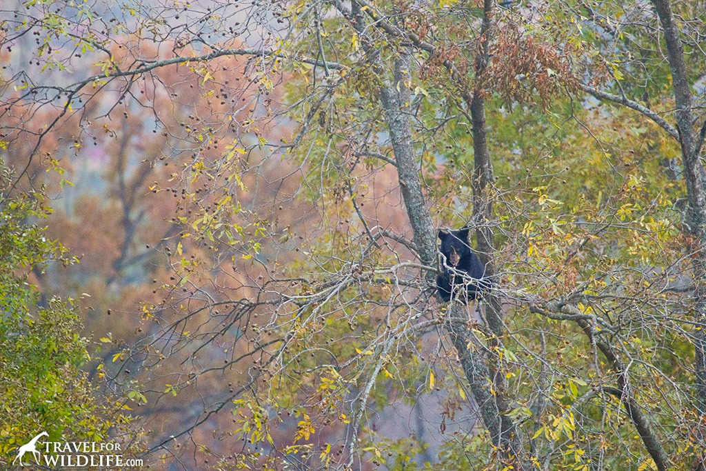 Bear cub in a tree in Autumn in the Smoky Mountains National Park NC