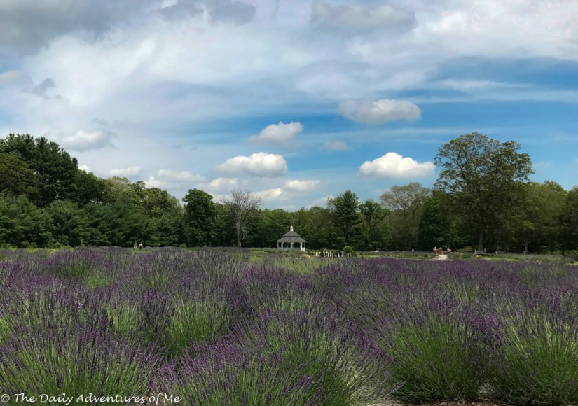 Where to see Lavender in Connecticut.