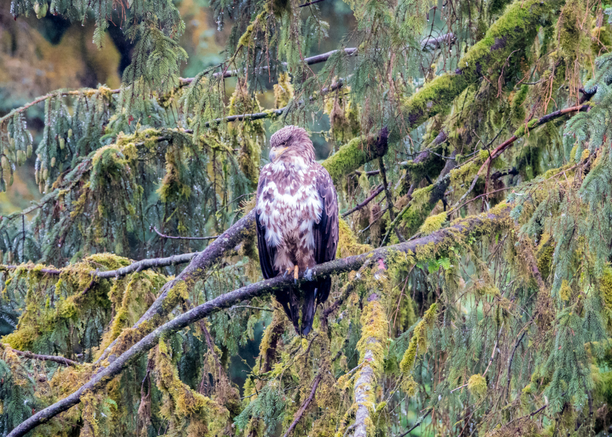 Where to find bald eagles in Alaska