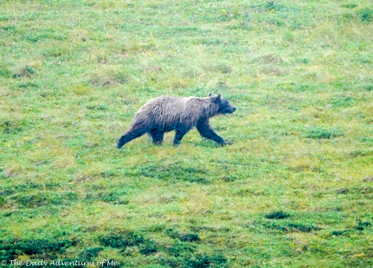 Where to find grizzly bears in Alaska
