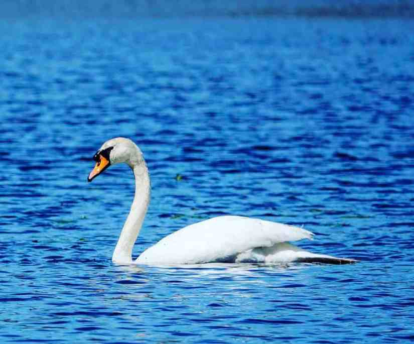 swans in East Providence